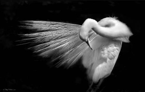 Egret  preen