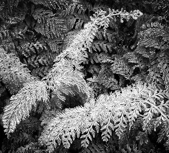 Christmas fern no 1
