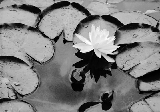 Single white water lily