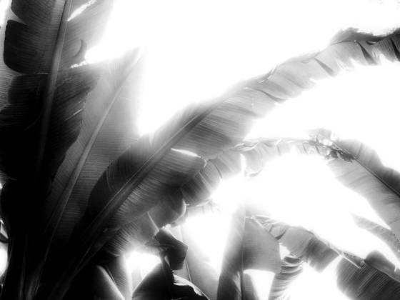 Backlit banana leaves