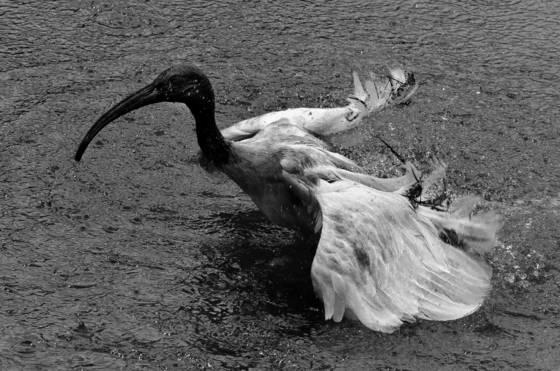 Bathing ibis