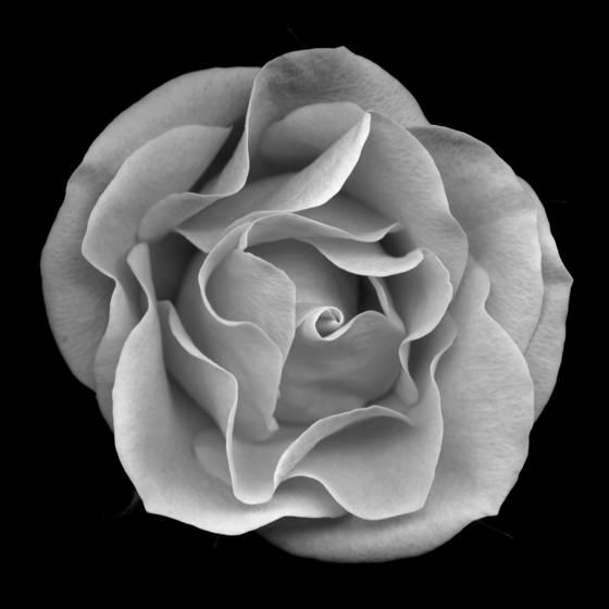 Image 14 rose series 2