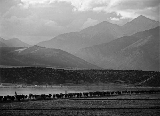 Cattle drive 17