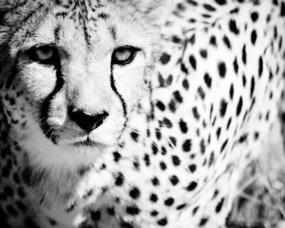 Cheetah ix