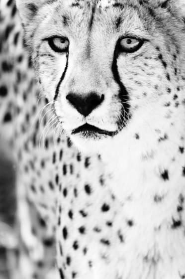 Cheetah vi