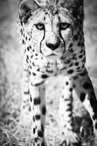 Cheetah xii