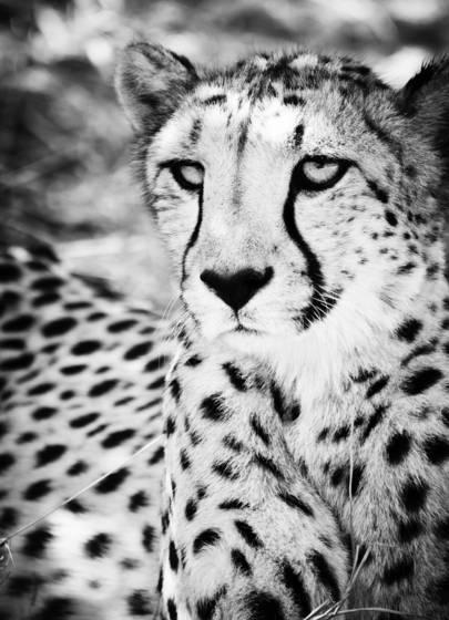 Cheetah xiv