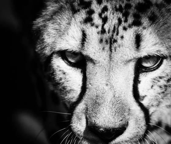 Cheetah xvi