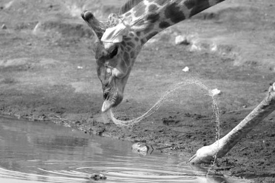 Giraffe spray