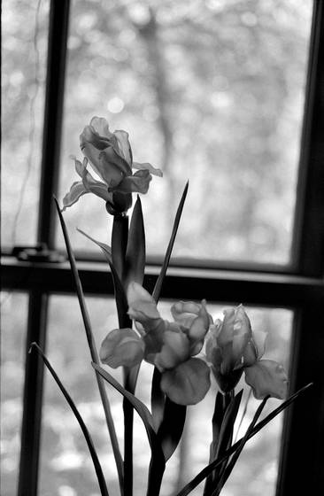 Irises no 1