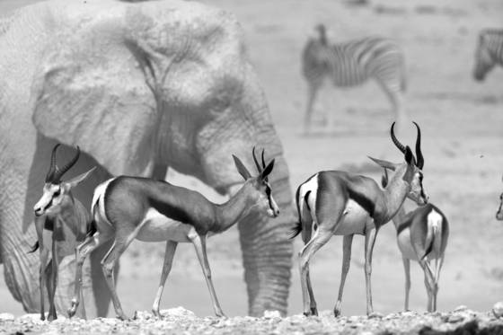 Springbok and ele