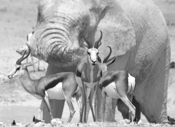 Springbok perspective
