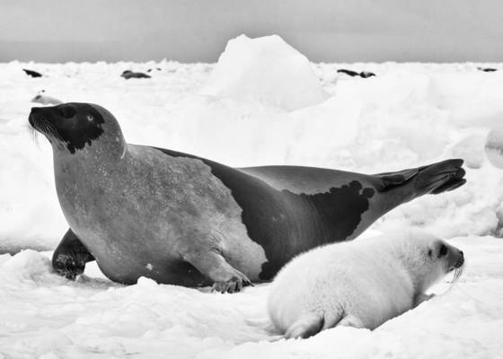 Adult with baby harp seal