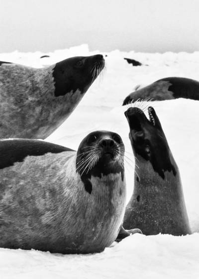 Three harp seals
