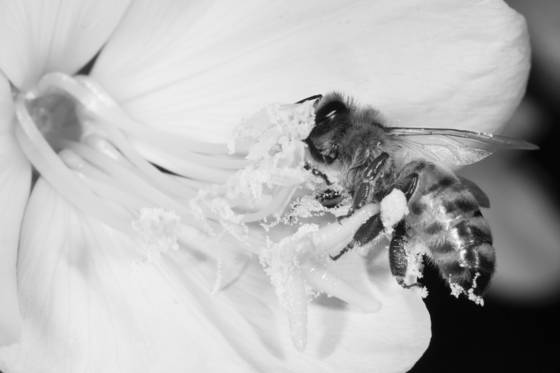 Bee on evening primrose