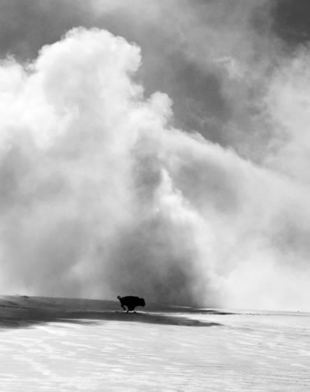 Bison and geyser