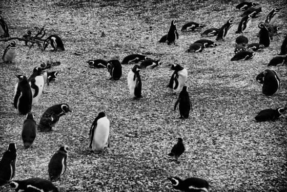 Pinguin island 1