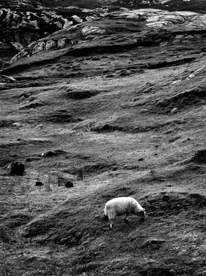 8  sheep