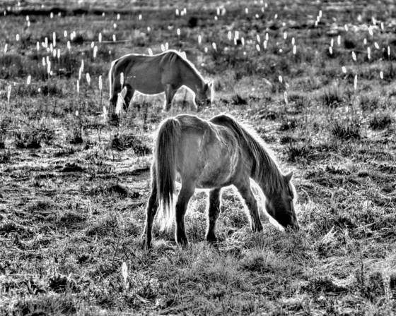 Assateague ponies grazing