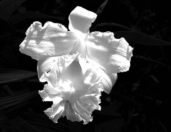 White sobralia