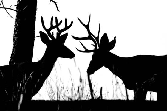 Mule deer silhouette