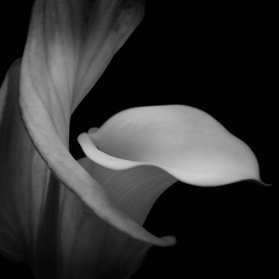 Calla lilly no1  2010