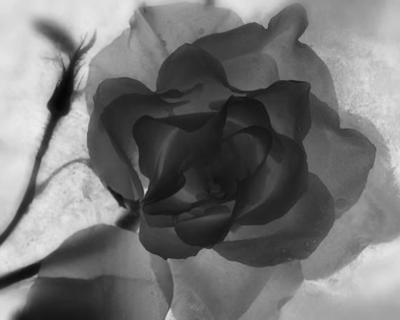 Rose no1  2010