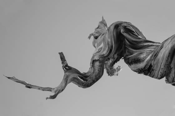 Bristlecone sinew