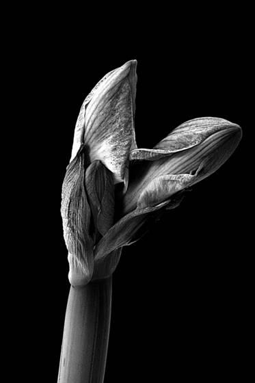 Amaryliis emergent 1