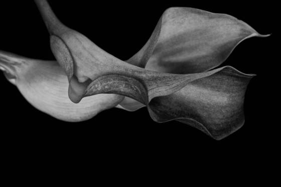 Calla lillies 6