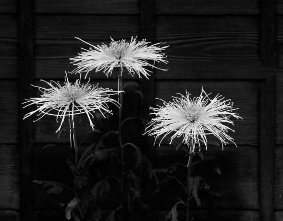 Three chrystanthemums