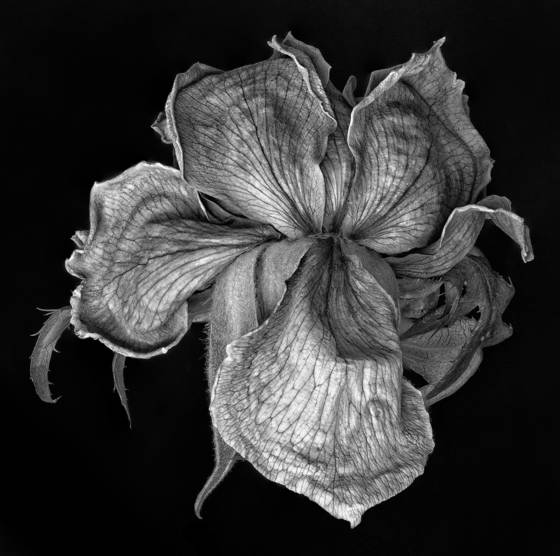 Dying rose 1