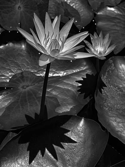11 water lilly