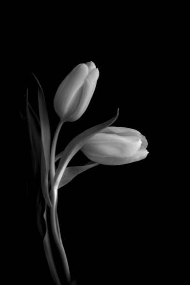 Tulipa5