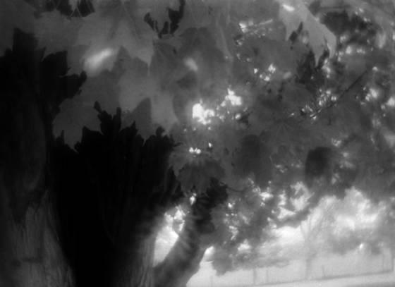 Maple ontario canada 2012