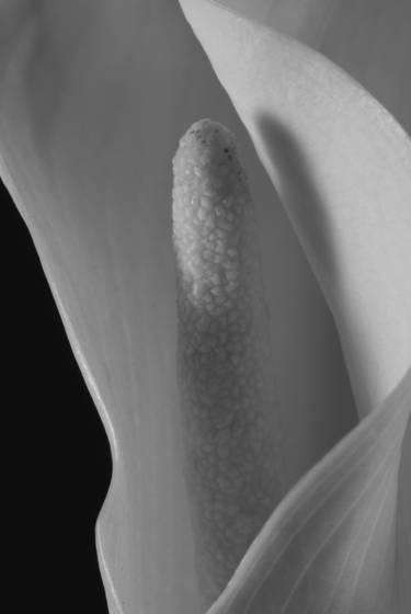 Calla lily 106