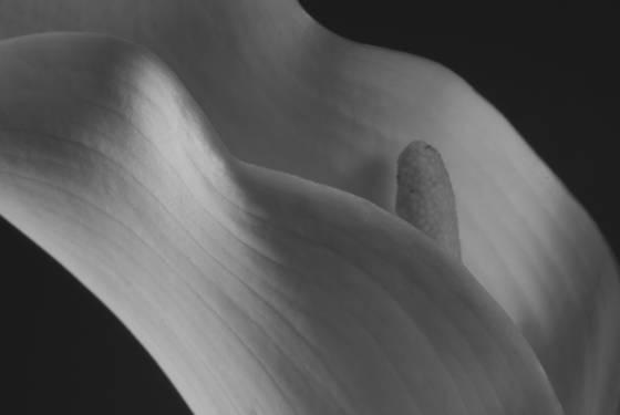 Calla lily 109 tucson