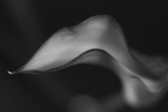 Calla lily 50