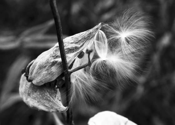 The milkweed s launch