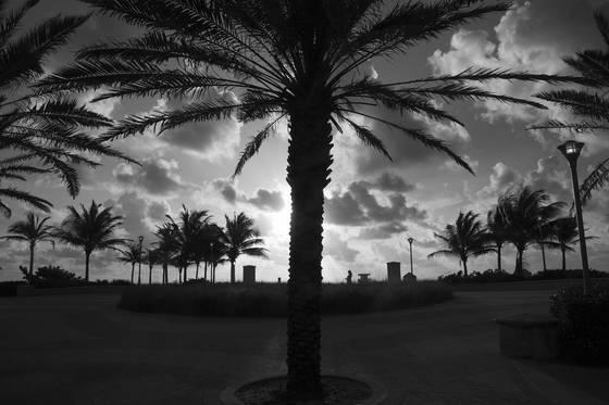 Miami sunrise palms