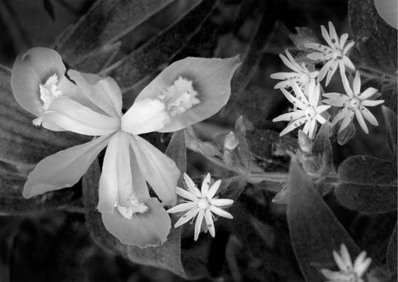 Crested dwarf iris and star chickweed