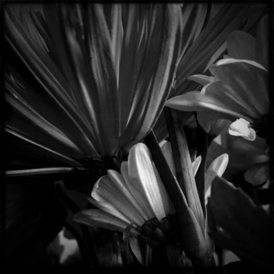 Under chrysanthemums