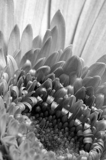 Pollinating gerber