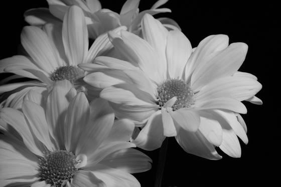 Soft daisies