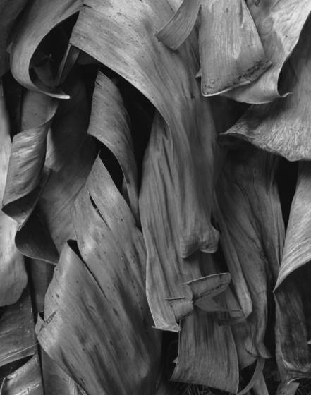 Dead banana leaves