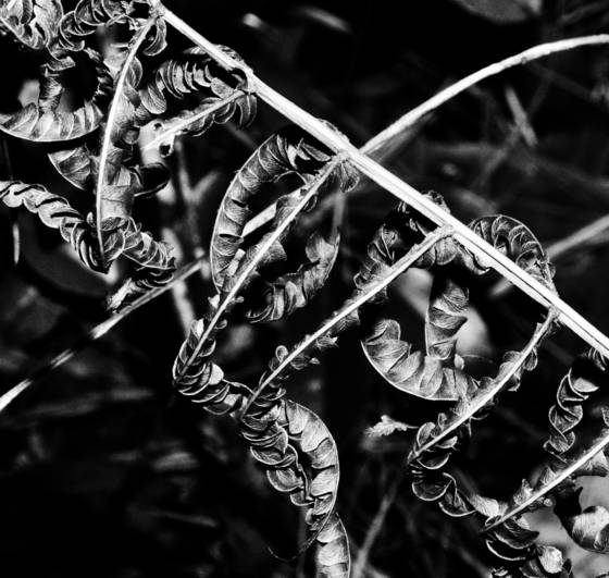 Net leaf chain fern