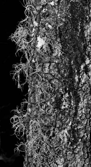 Spanish moss on tree