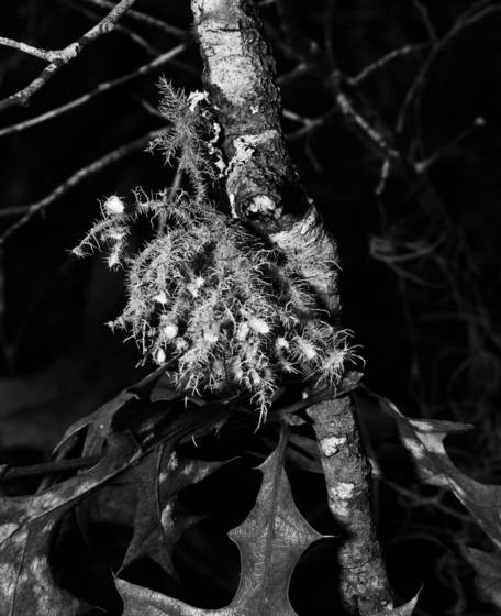 Tree moss