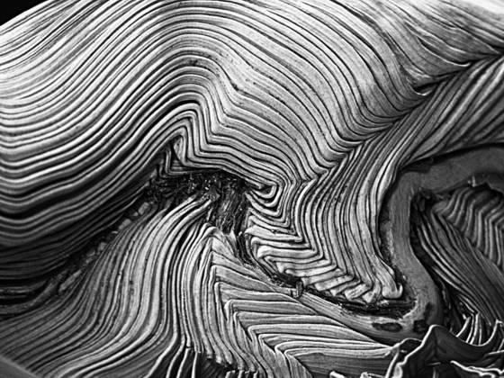 Unborn palm leaf