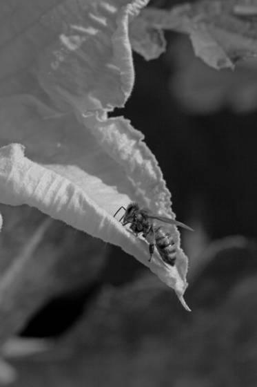 Plants pumpkin pollinator